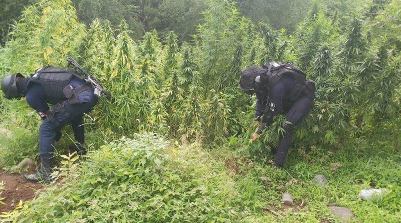 Destruye SSP más de 6 mil plantas de marihuana en Tiquicheo